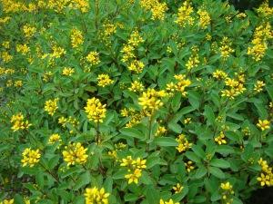 Salunke Vihar flowers 29 Jun 2012 006