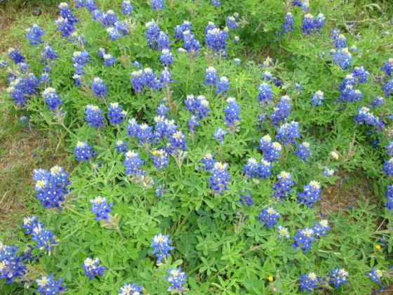 The Bluebonnet